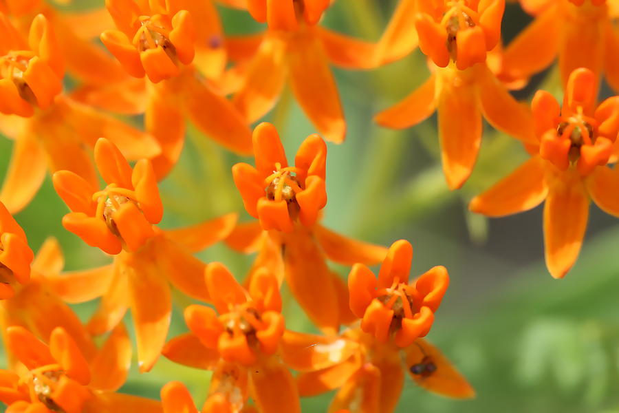 Butterfly Weed 6 by AJP
