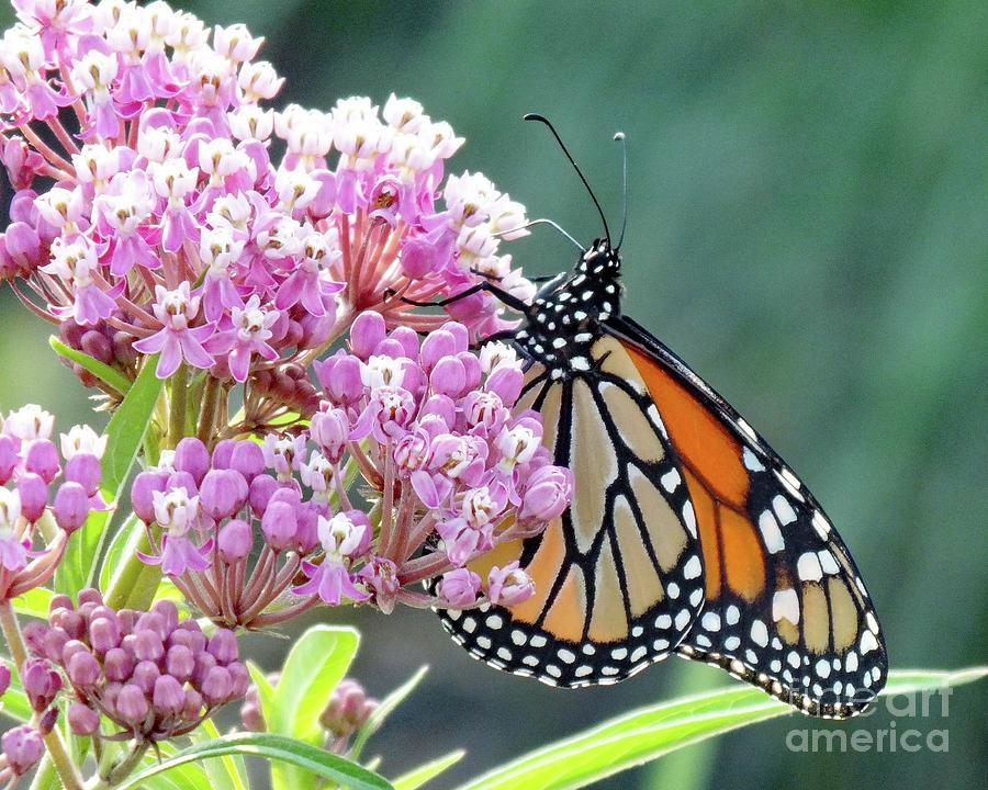 Swamp Milkweed And Monarch Photograph