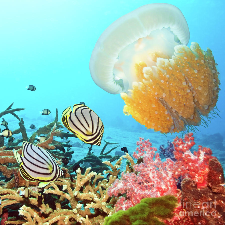 Butterflyfish Photograph - Butterflyfishes And Jellyfish by MotHaiBaPhoto Prints
