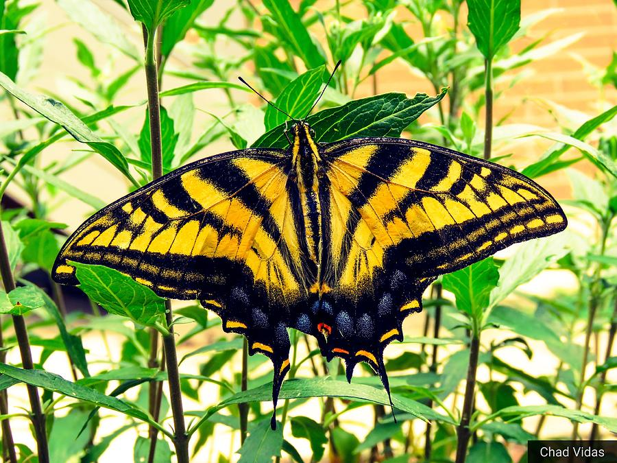 Butterflys Photograph by Chad Vidas