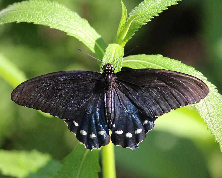 Butteryfly 3 by John Olson