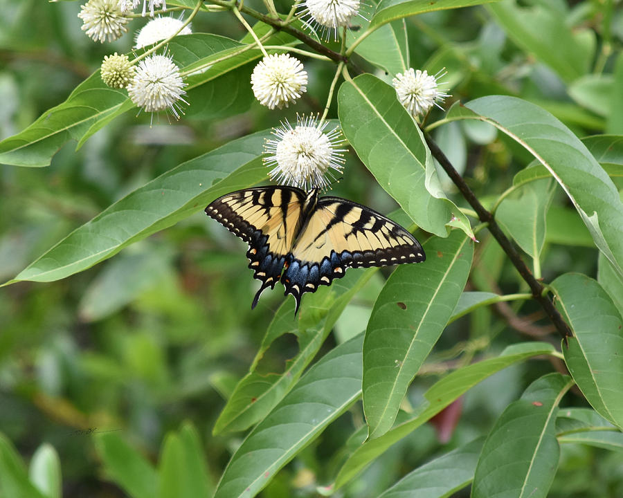 Roy Erickson Photograph - Button Willow Honeyball And Tiger Swallowtail Butterfly by rd Erickson