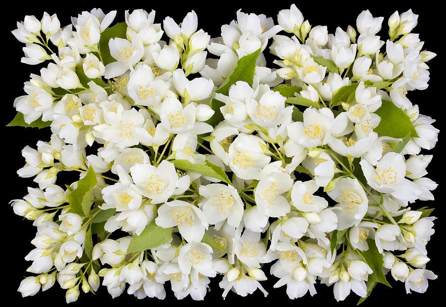 Jasmine Photograph - Buttonhole From White  Jasmine Flowers by Aleksandr Volkov