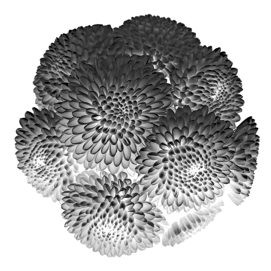 Buttons Chrysanthemums Black and White by Lilia Maloratskiy