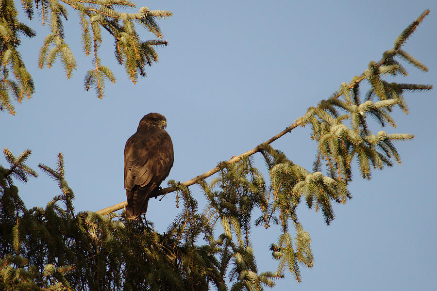 Buzzard On The Lookout by Adrian Wale