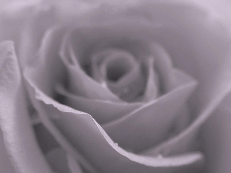 Rose Photograph - Bw Rose  by Juergen Roth