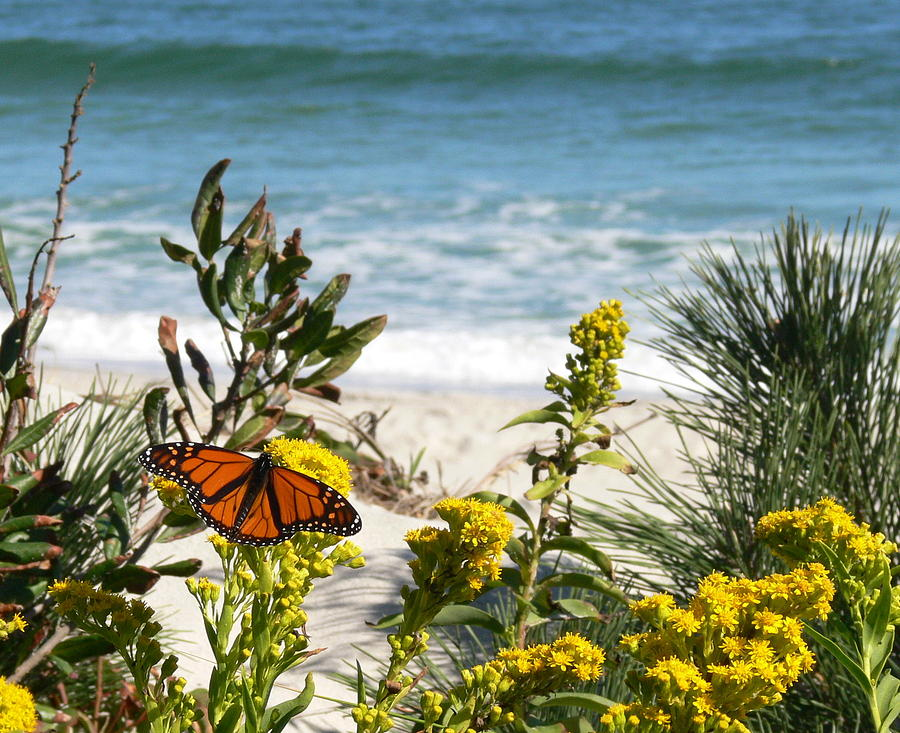 Monarch Photograph - By The Sea by Tom LoPresti