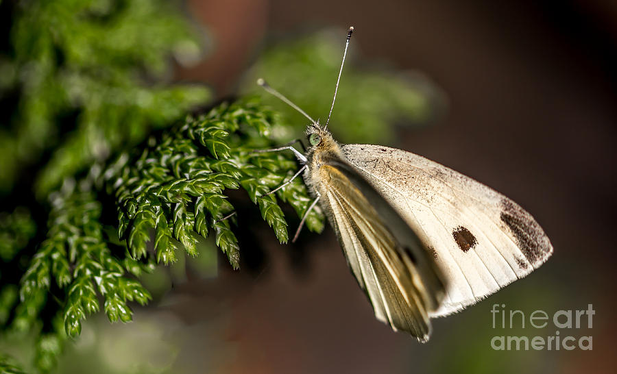 Cabbage Butterfly on Evergreen Bush by Em Witherspoon