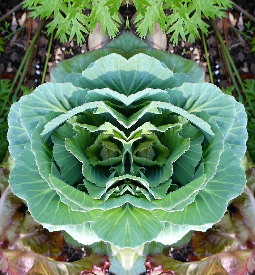 Cabbage Photograph - Cabbage Head by Melody Harris