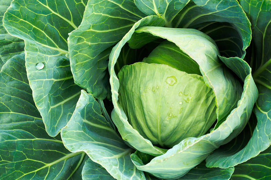 Cabbage Photograph - Cabbage In The Vegetable Garden by Debi Bishop