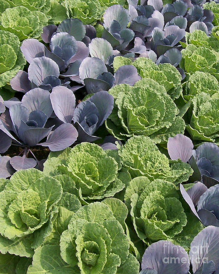 Ornamental Photograph - Cabbage Patch by Laurie Eve Loftin