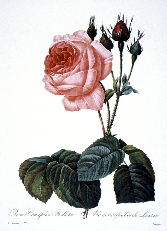 1833 Photograph - Cabbage Rose by Granger