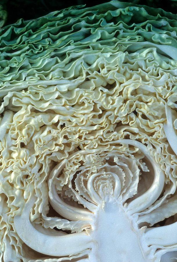Cabbage Photograph - Cabbage Universe by Laurie Paci