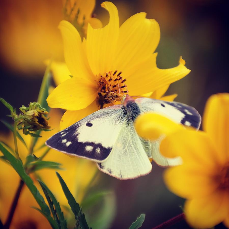 Butterfly Photograph - Cabbage White by Bill Helman