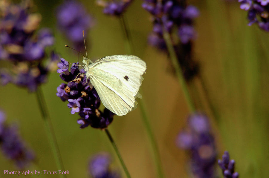 Cabbage White Photograph - Cabbage White Butterfly by Franz Roth