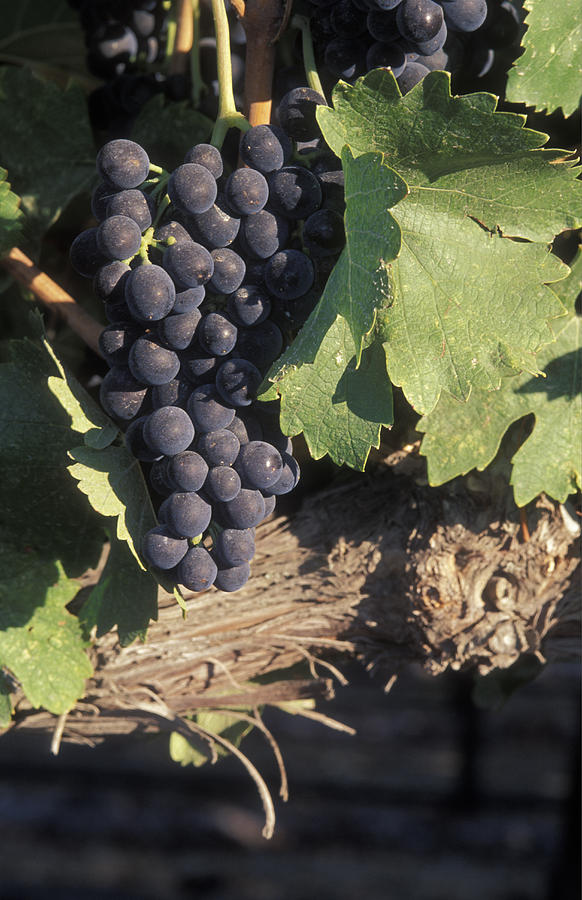 Grapes Photograph - Cabernet Grapes On The Vine In Santa by Rich Reid