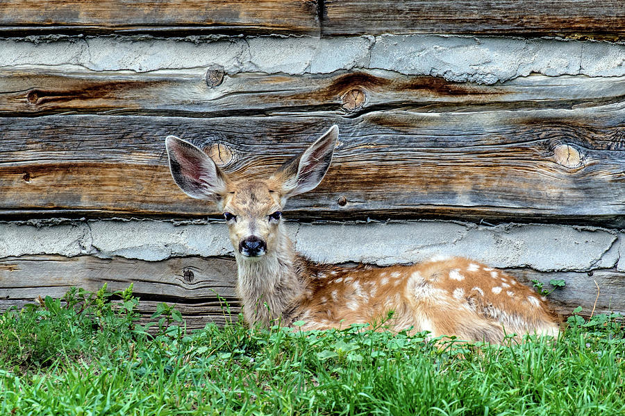 Odocoileus Hemionus Photograph - Cabin Fawn by Dawn Key