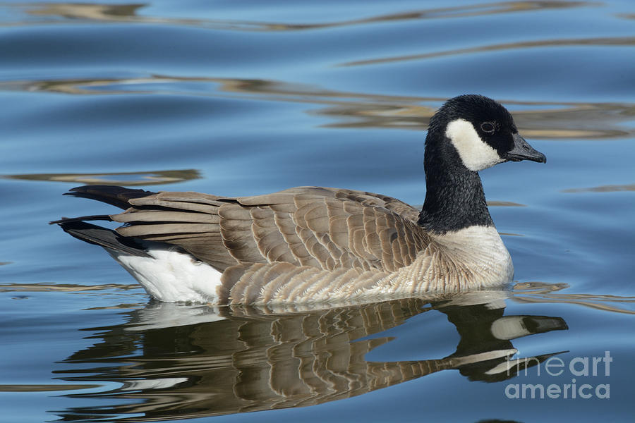 Cackling Goose Photograph - Cackling Goose by Merrimon Crawford
