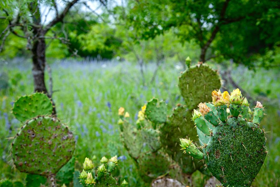 Cacti and Bluebonnets by Jay Anne Boza