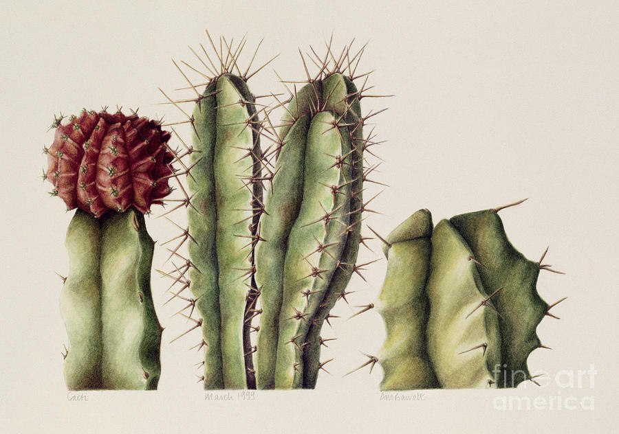 Botanical Painting - Cacti by Annabel Barrett