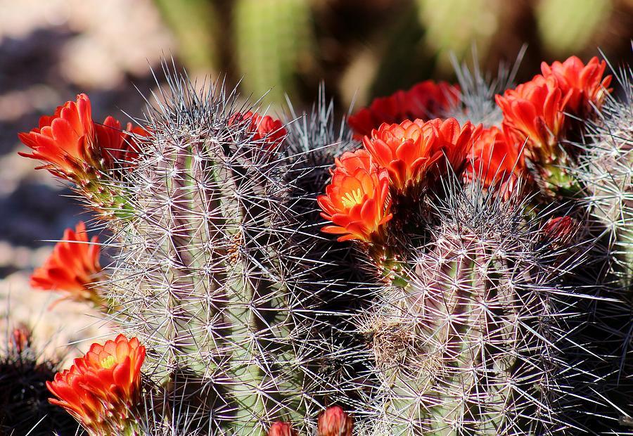 Flora Photograph - Cactus Bloom 033114g by Edward Dobosh