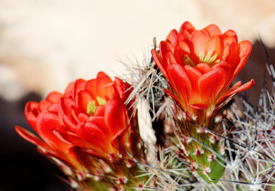 Flora Photograph - Cactus Bloom 033114m by Edward Dobosh