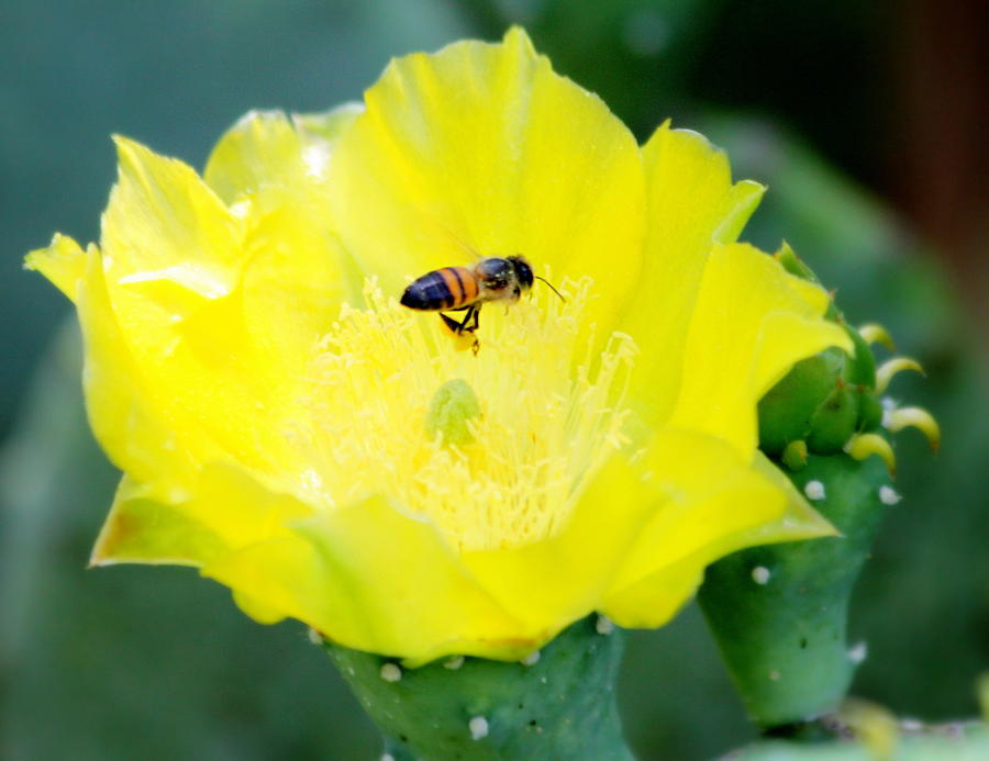 Flowers Photograph - Cactus Bloom And Bee by Billie Earley