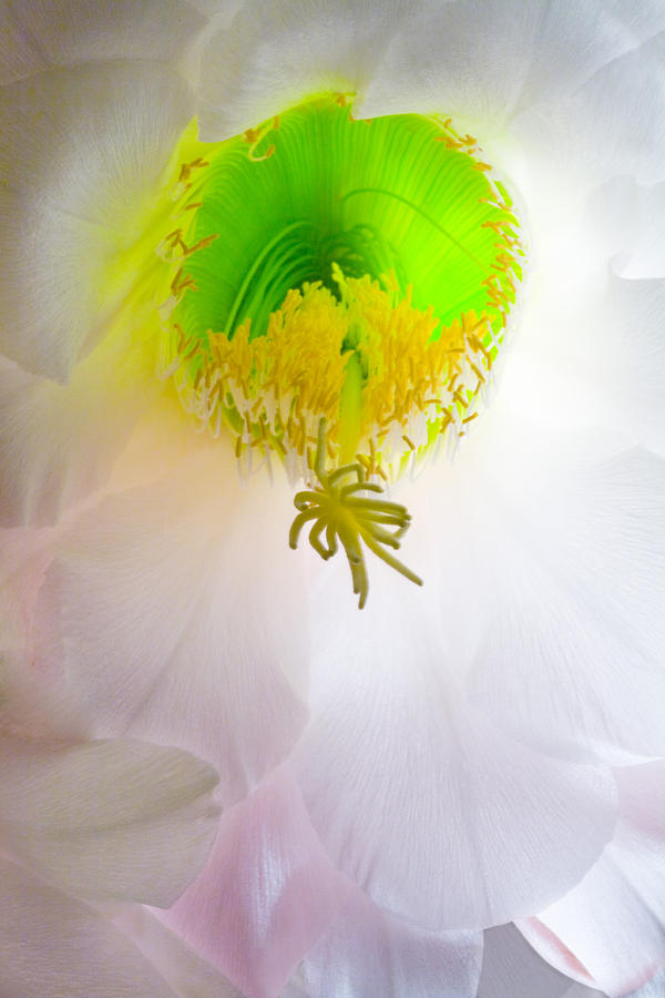 White Photograph - Cactus Bloom Number Six by Bob Coates