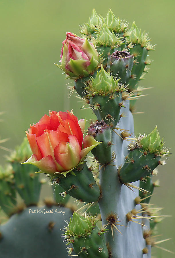 Cactus Photograph - Cactus Bloom by Pat McGrath Avery