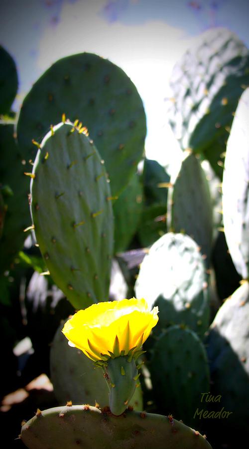 Cactus Photograph - Cactus Bloom by Tina Meador