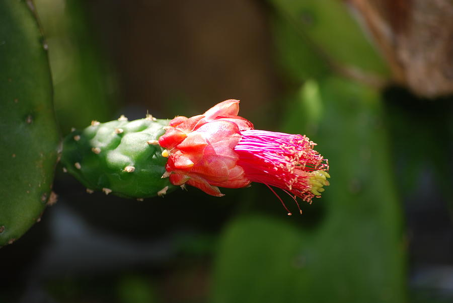 Nature Photograph - Cactus Bud by Peter  McIntosh