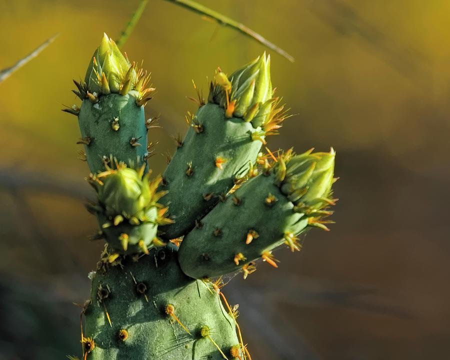 Cactus Buds H51 Photograph
