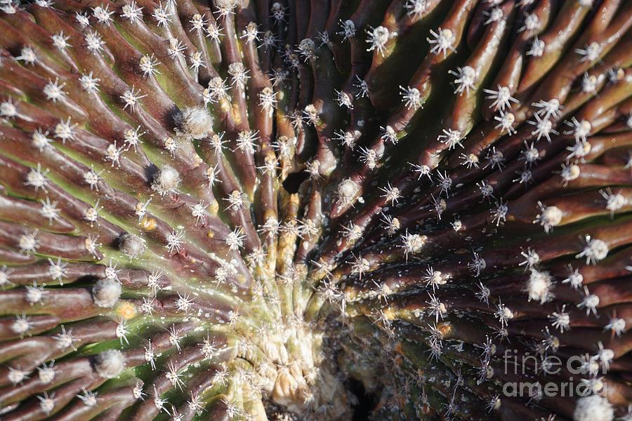 Cactus Crest by Eric Suchman