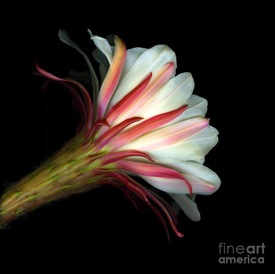 Scanart Photograph - Cactus Flower by Christian Slanec