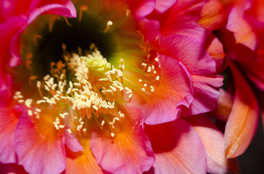 Cactus Flower Close Up by Richard Henne