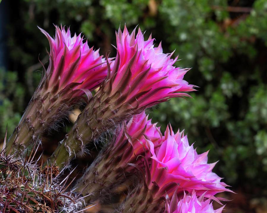 Cactus Flower Trumpets by Richard Lund