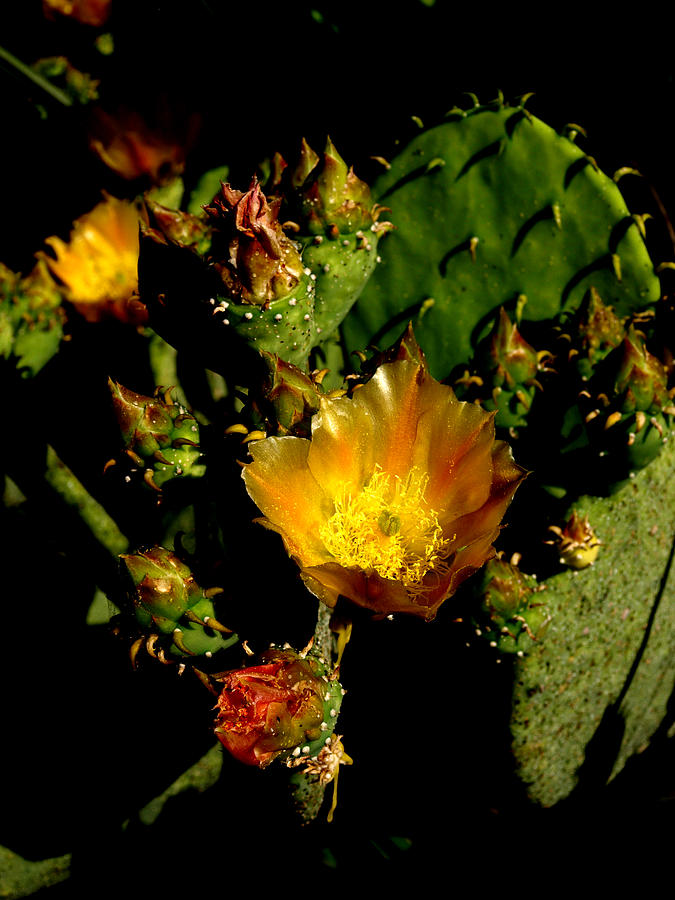 Floral Photograph - Cactus In Sunset Light by James Granberry
