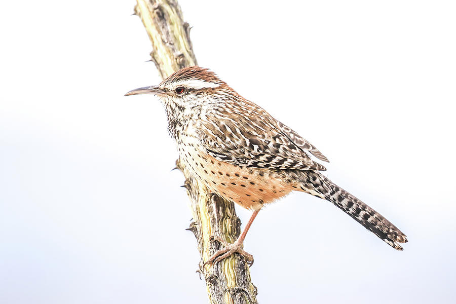 Cactus Wren # 1 by Tom and Pat Cory