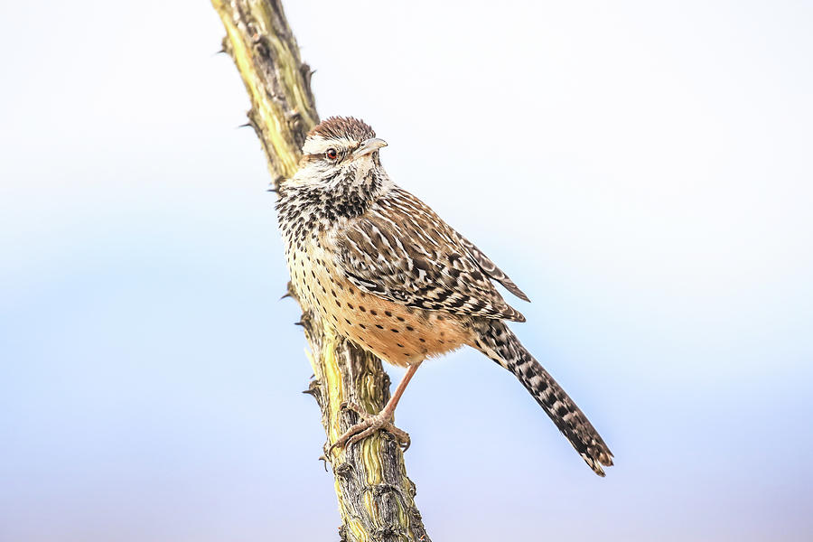Cactus Wren # 2 by Tom and Pat Cory