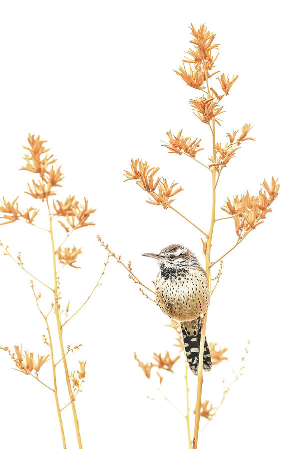 Cactus Wren # 3 by Tom and Pat Cory