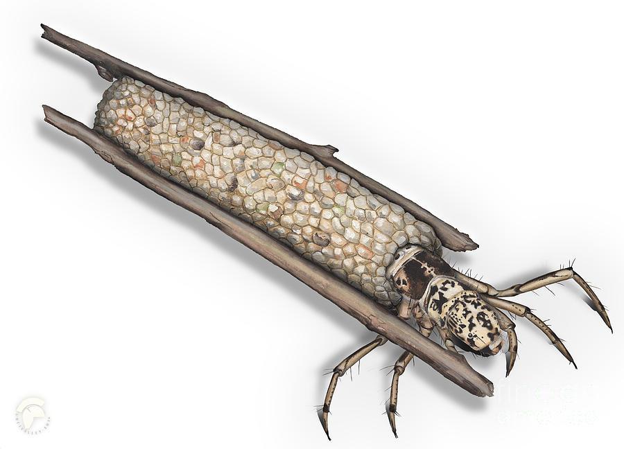 Caddisfly Limnephilidae Anabolia Nervosea Larva Nymph - Painting