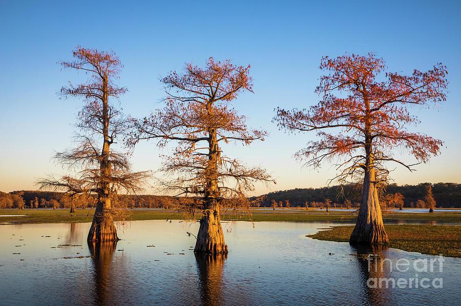 America Photograph - Caddo Three Trees by Inge Johnsson