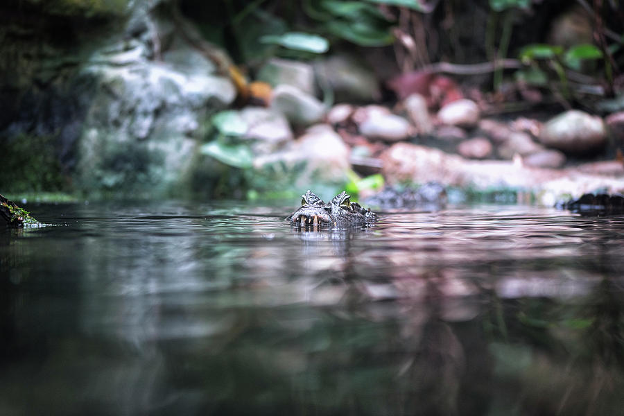 Caiman by Traven Milovich