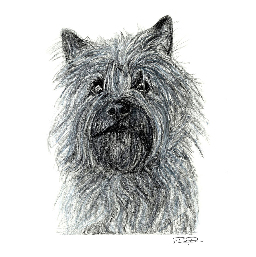 Cairn Drawing - Cairn Terrier by Dan Pearce