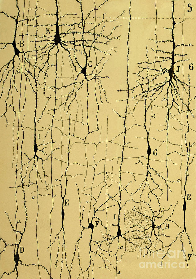 Science Photograph - Cajal Drawing of Microscopic Structure of the Brain 1904 by Science Source