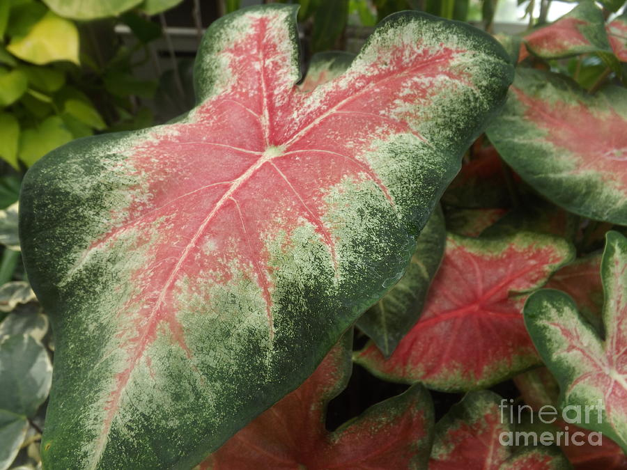 Caladium Elephant Ear Plant Photograph By Lingfai Leung