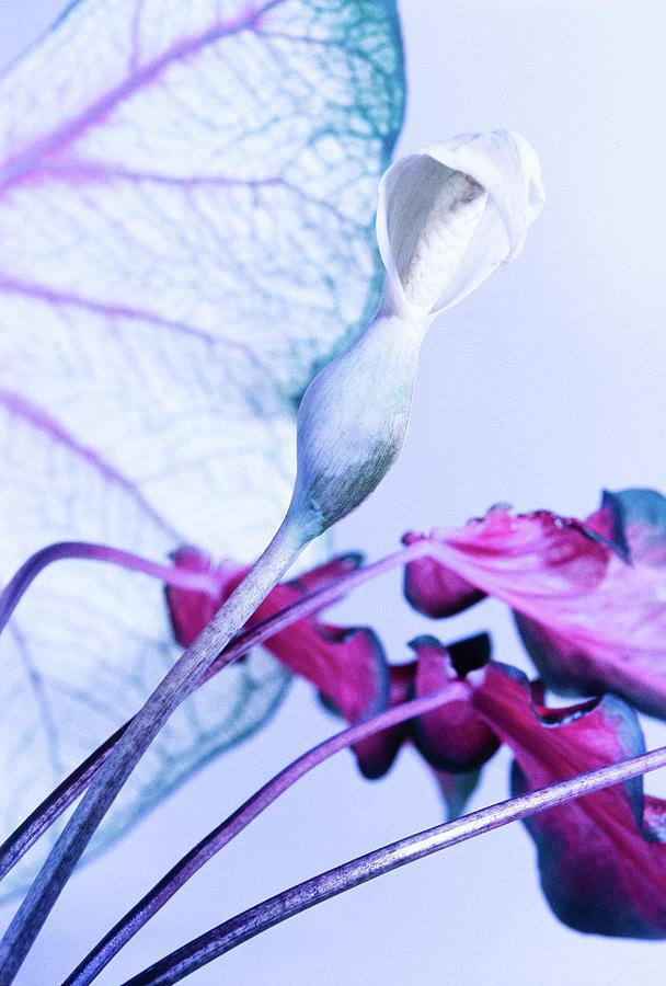 Caladium in Bloom by James Oppenheim