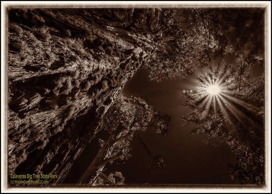 Giant Sequoia Trees I Monochrome Photograph