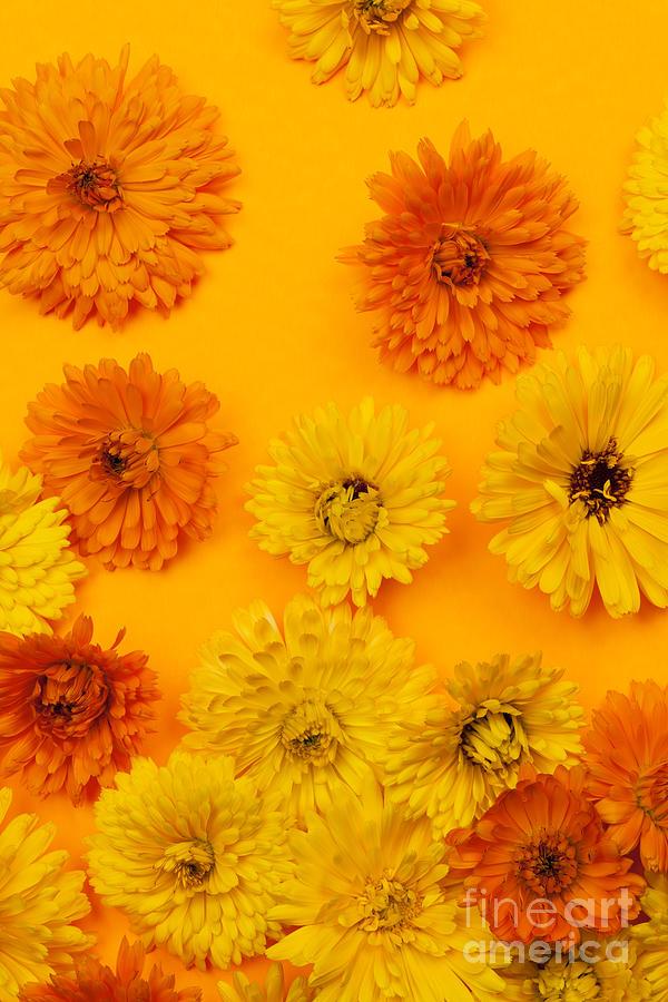 Calendula Photograph - Calendula Flowers On Orange Background by Elena Elisseeva