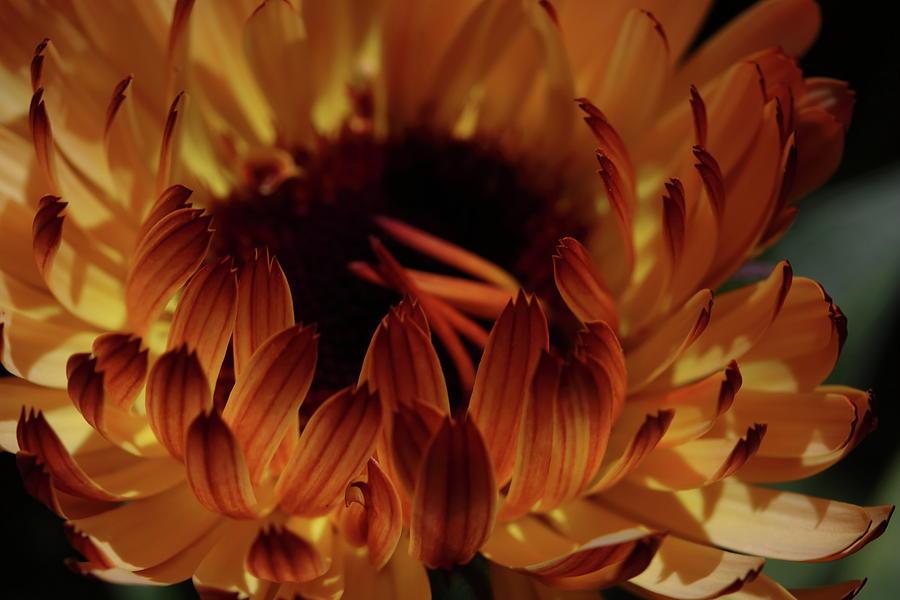 Calendula Glow by Laura Davis
